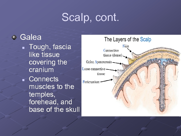 Scalp, cont. Galea n n Tough, fascia like tissue covering the cranium Connects muscles