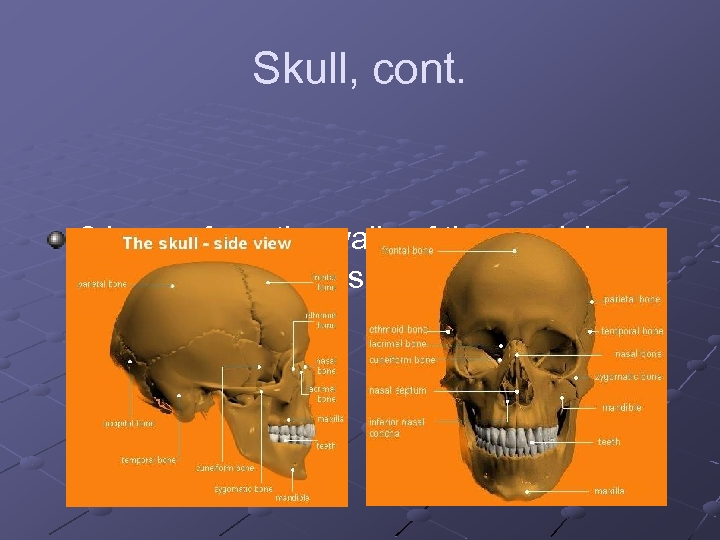 Skull, cont. 8 bones form the walls of the cranial cavity which houses the