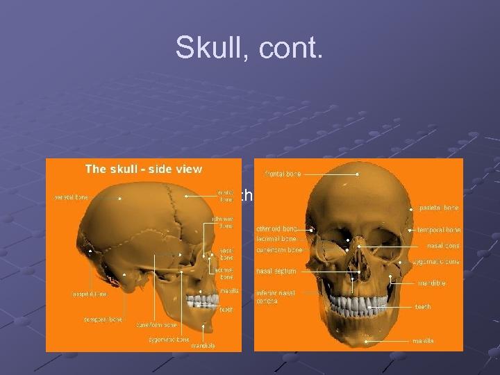 Skull, cont. n 4 single bones frontal, occipital, ethmoid, and sphenoid