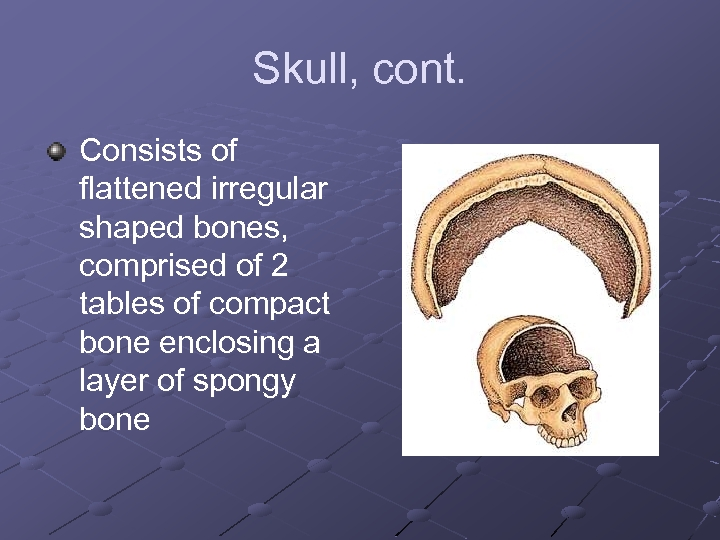 Skull, cont. Consists of flattened irregular shaped bones, comprised of 2 tables of compact