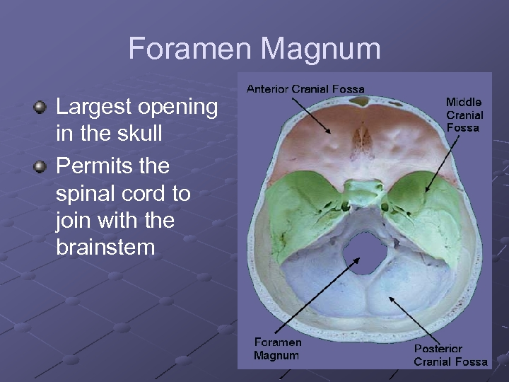 Foramen Magnum Largest opening in the skull Permits the spinal cord to join with