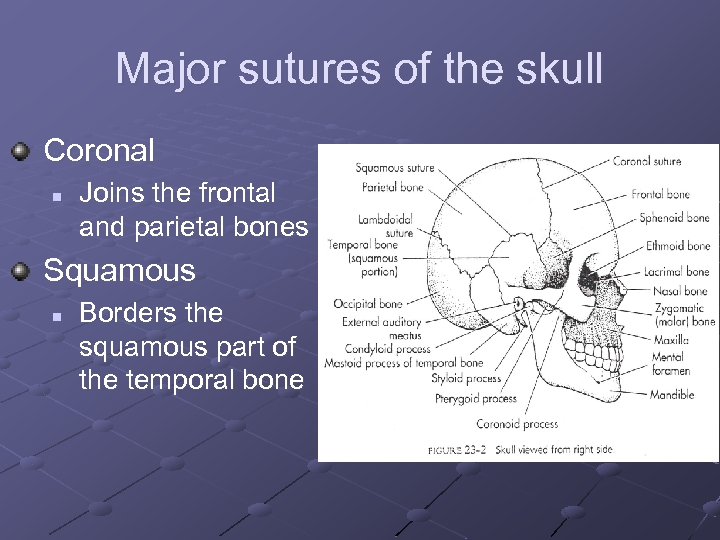 Major sutures of the skull Coronal n Joins the frontal and parietal bones Squamous