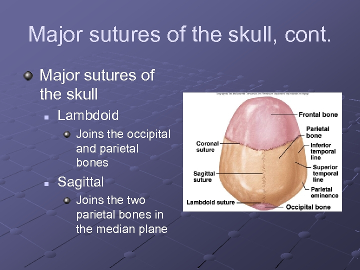 Major sutures of the skull, cont. Major sutures of the skull n Lambdoid Joins