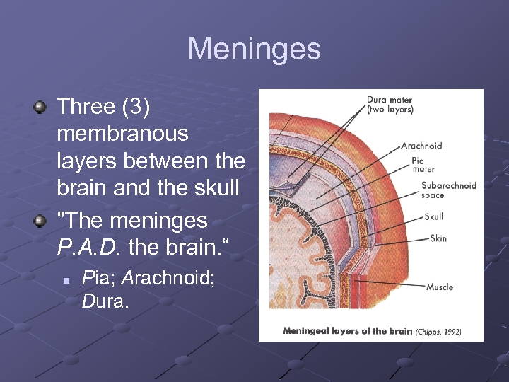 Meninges Three (3) membranous layers between the brain and the skull