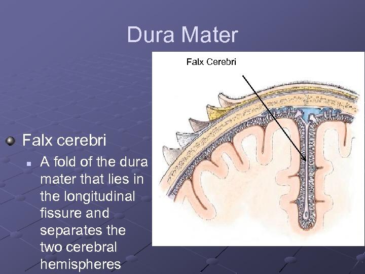 Dura Mater Falx Cerebri Falx cerebri n A fold of the dura mater that