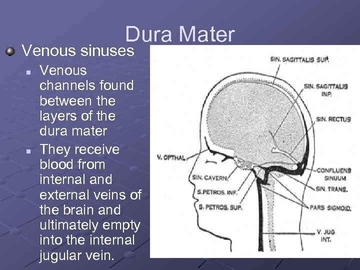 Dura Mater Venous sinuses n n Venous channels found between the layers of the