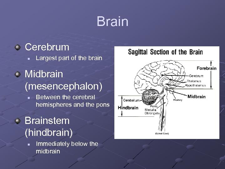 Brain Cerebrum n Largest part of the brain Midbrain (mesencephalon) n Between the cerebral
