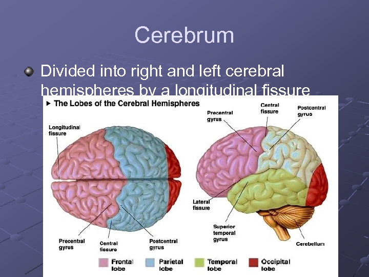 Cerebrum Divided into right and left cerebral hemispheres by a longitudinal fissure