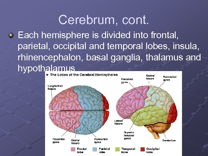 Cerebrum, cont. Each hemisphere is divided into frontal, parietal, occipital and temporal lobes, insula,