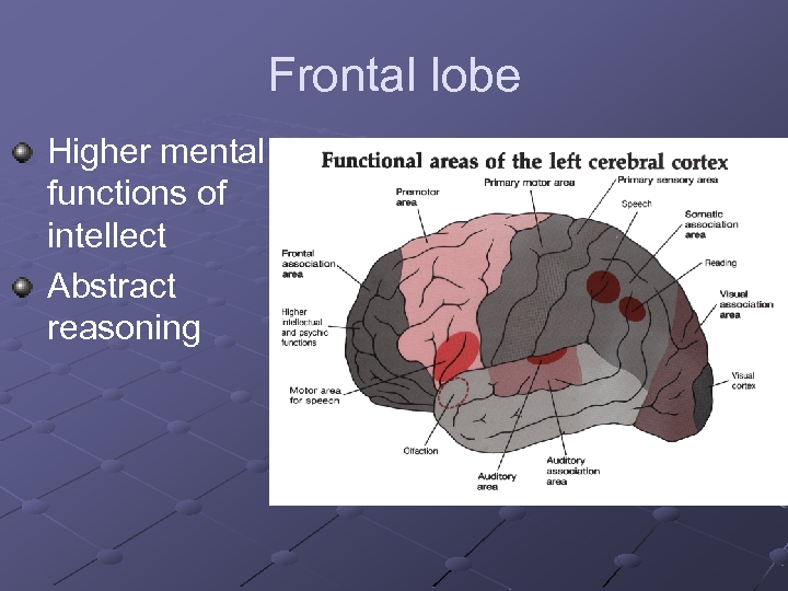 Frontal lobe Higher mental functions of intellect Abstract reasoning
