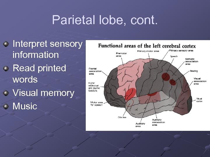 Parietal lobe, cont. Interpret sensory information Read printed words Visual memory Music