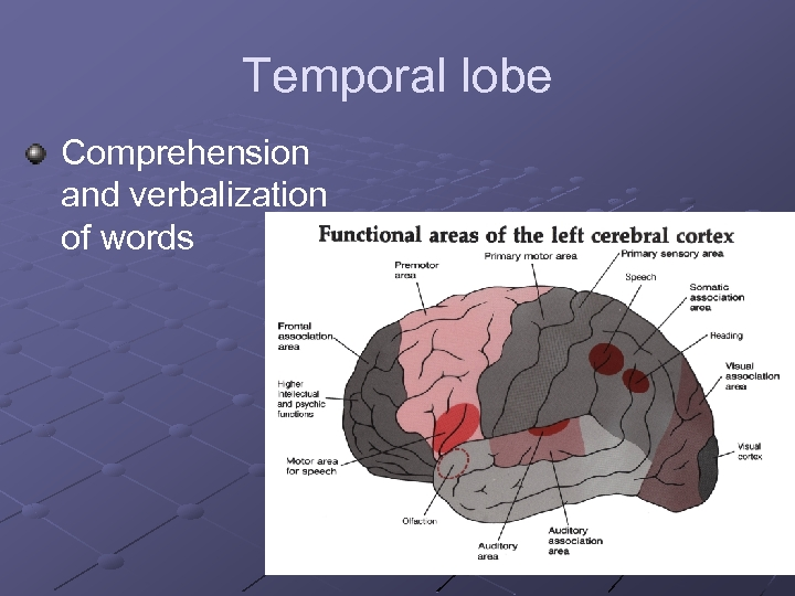 Temporal lobe Comprehension and verbalization of words