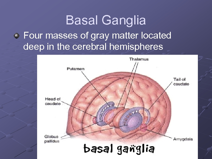 Basal Ganglia Four masses of gray matter located deep in the cerebral hemispheres