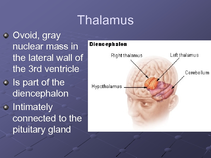 Thalamus Ovoid, gray nuclear mass in the lateral wall of the 3 rd ventricle