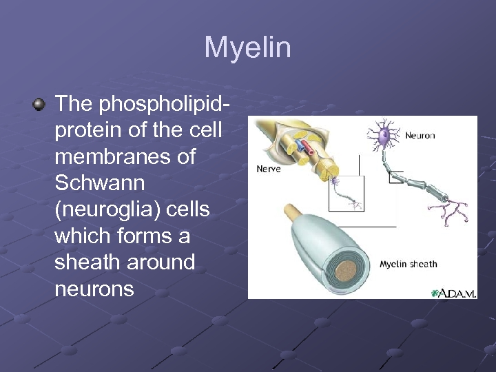 Myelin The phospholipidprotein of the cell membranes of Schwann (neuroglia) cells which forms a