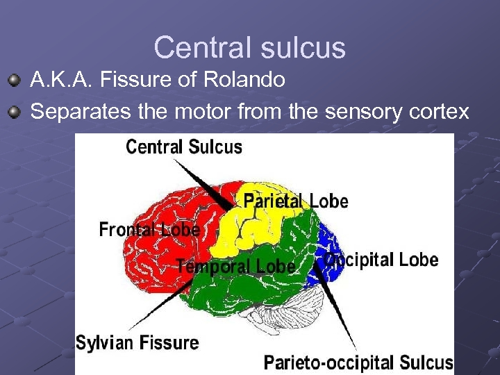 Central sulcus A. K. A. Fissure of Rolando Separates the motor from the sensory