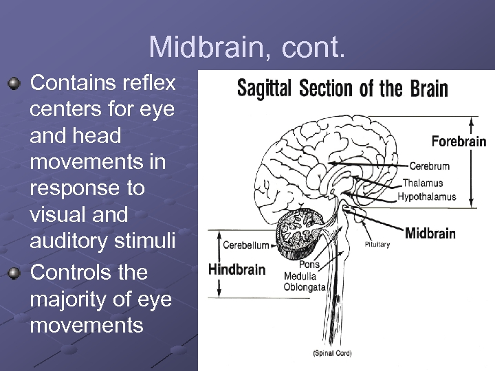 Midbrain, cont. Contains reflex centers for eye and head movements in response to visual