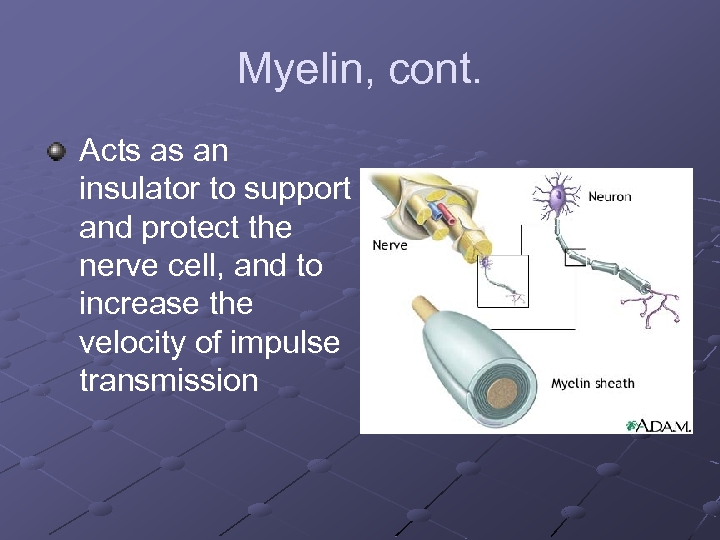 Myelin, cont. Acts as an insulator to support and protect the nerve cell, and