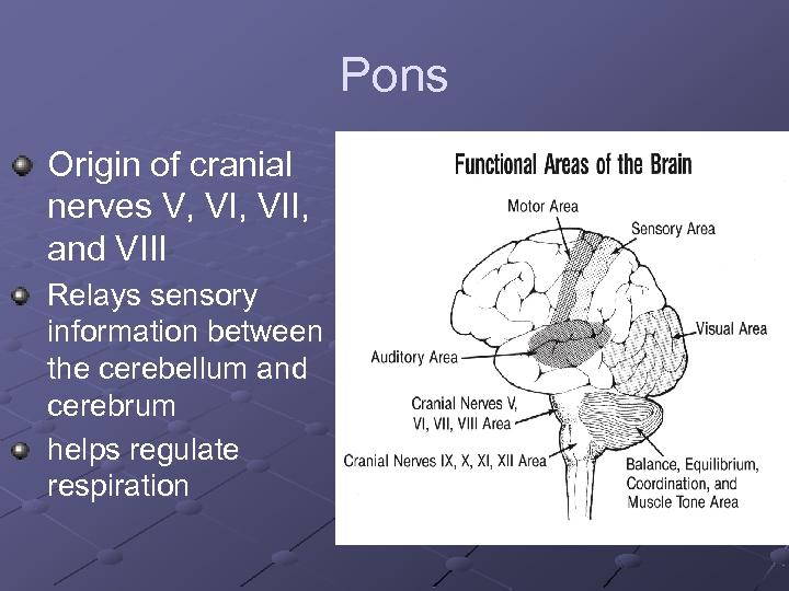 Pons Origin of cranial nerves V, VII, and VIII Relays sensory information between the