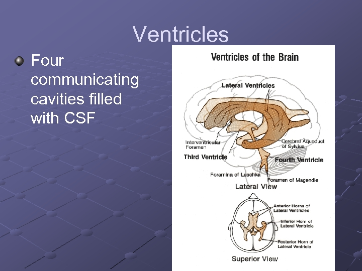Ventricles Four communicating cavities filled with CSF