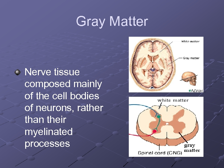 Gray Matter Nerve tissue composed mainly of the cell bodies of neurons, rather than