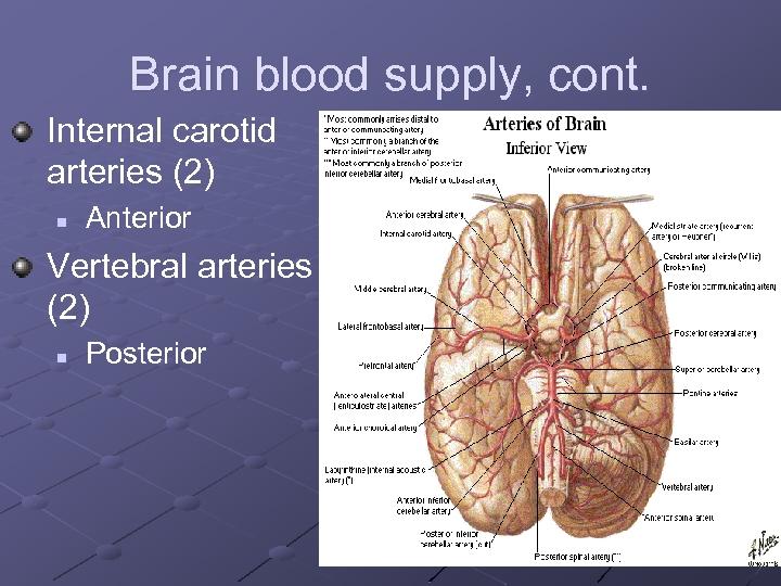 Brain blood supply, cont. Internal carotid arteries (2) n Anterior Vertebral arteries (2) n