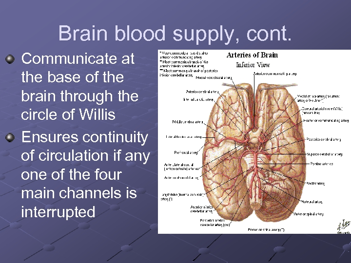 Brain blood supply, cont. Communicate at the base of the brain through the circle