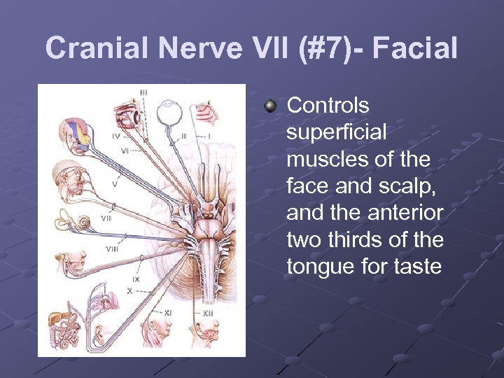 Cranial Nerve VII (#7)- Facial Controls superficial muscles of the face and scalp, and
