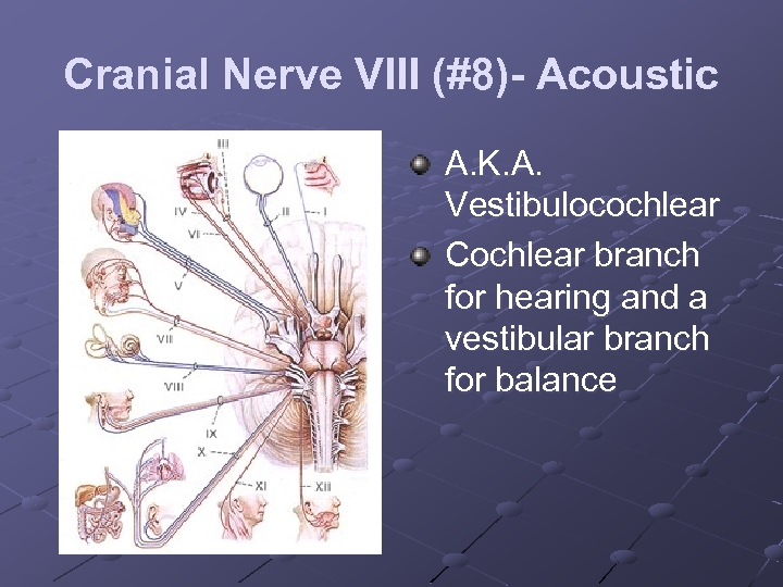 Cranial Nerve VIII (#8)- Acoustic A. K. A. Vestibulocochlear Cochlear branch for hearing and