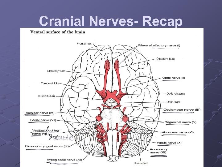 Cranial Nerves- Recap