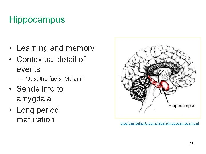 """Hippocampus • Learning and memory • Contextual detail of events – """"Just the facts,"""