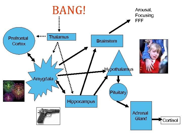 BANG! Prefrontal Cortex Thalamus Arousal, Focusing FFF Brainstem Hypothalamus Amygdala Pituitary Hippocampus Adrenal Gland