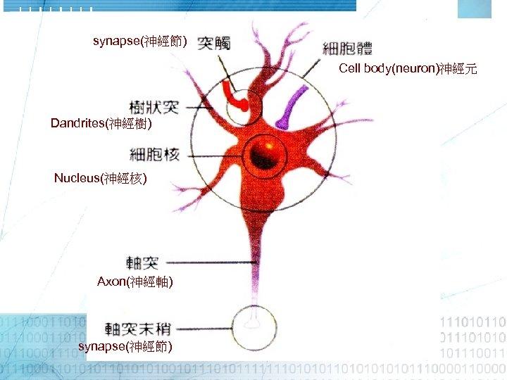 synapse(神經節) Cell body(neuron)神經元 Dandrites(神經樹) Nucleus(神經核) Axon(神經軸) synapse(神經節)