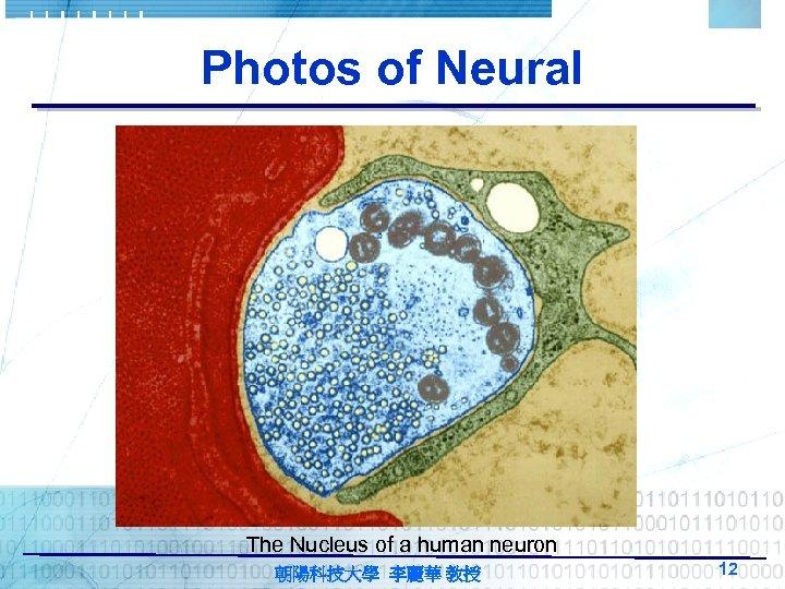 Photos of Neural The Nucleus of a human neuron 朝陽科技大學 李麗華 教授 12