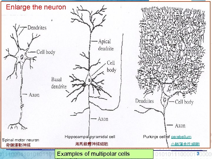 Enlarge the neuron Spinal motor neuron 脊髓運動神經 Hippocampal pyramidal cell 海馬錐體神經細胞 Examples of multipolar