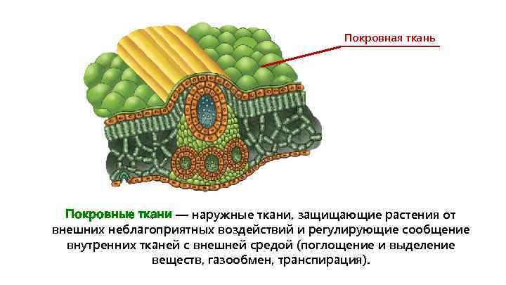 Покровная ткань Покровные ткани — наружные ткани, защищающие растения от внешних неблагоприятных воздействий и