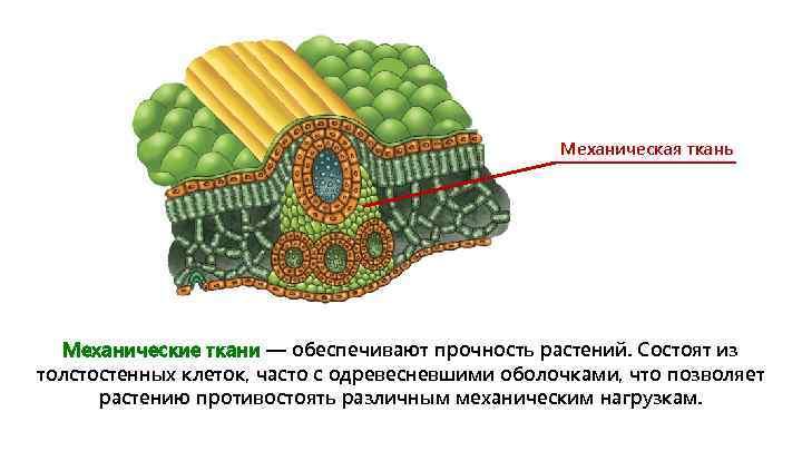 Механическая ткань Механические ткани — обеспечивают прочность растений. Состоят из толстостенных клеток, часто с
