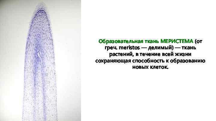 Образовательная ткань МЕРИСТЕМА (от греч. meristos — делимый) — ткань растений, в течение всей
