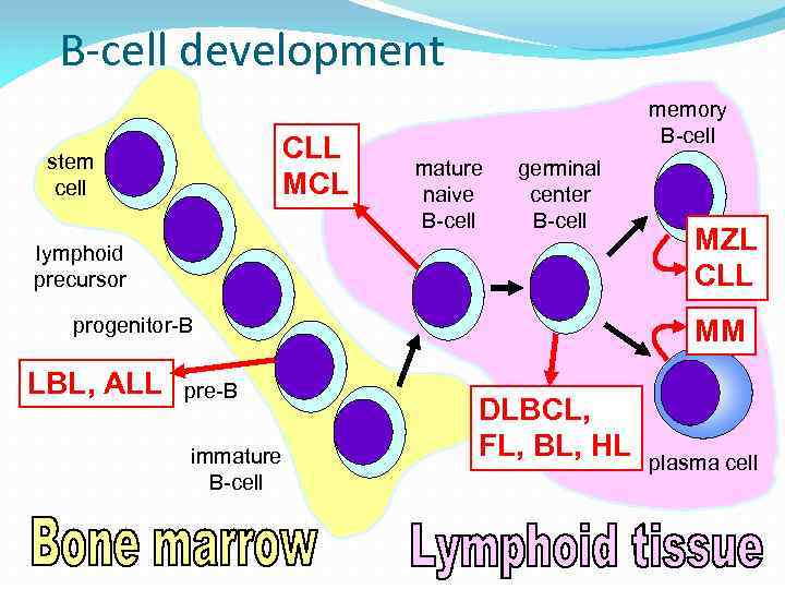 B-cell development CLL MCL stem cell memory B-cell mature naive B-cell germinal center B-cell
