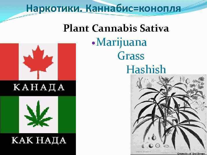 10/2009 Наркотики. Каннабис=конопля Plant Cannabis Sativa Marijuana Grass Hashish Created by dr' Emil Birman