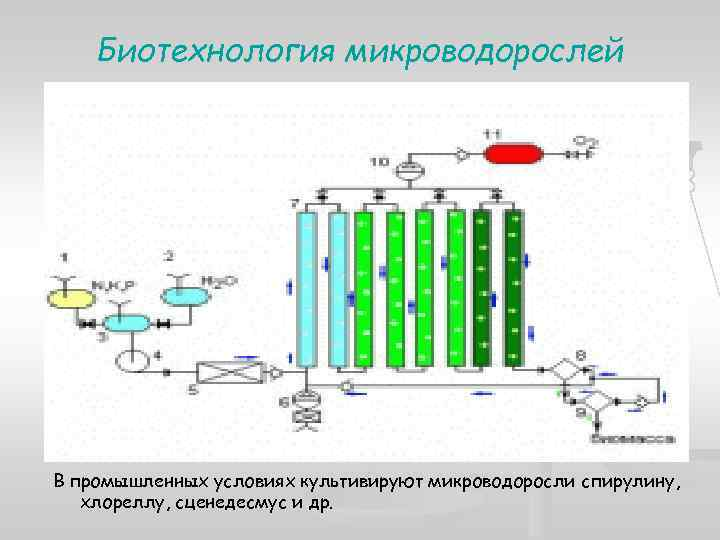 Биотехнология микроводорослей В промышленных условиях культивируют микроводоросли спирулину, хлореллу, сценедесмус и др.