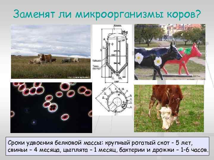 Заменят ли микроорганизмы коров? Сроки удвоения белковой массы: крупный рогатый скот - 5 лет,