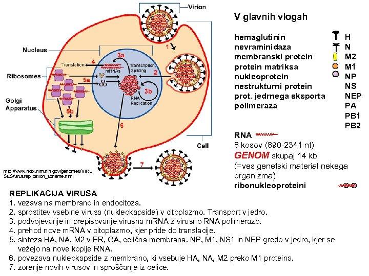 V glavnih vlogah http: //www. ncbi. nlm. nih. gov/genomes/VIRU SES/virusreplication_scheme. html REPLIKACIJA VIRUSA hemaglutinin
