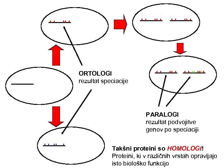 ORTOLOGI rezultat speciacije PARALOGI rezultat podvojitve genov po speciaciji Takšni proteini so HOMOLOGI! Proteini,