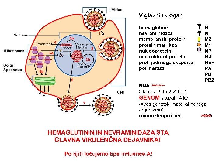 V glavnih vlogah hemaglutinin H nevraminidaza N membranski protein M 2 protein matriksa M