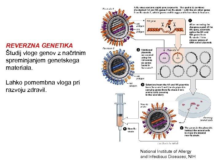 REVERZNA GENETIKA Študij vloge genov z načrtnim spreminjanjem genetskega materiala. Lahko pomembna vloga pri