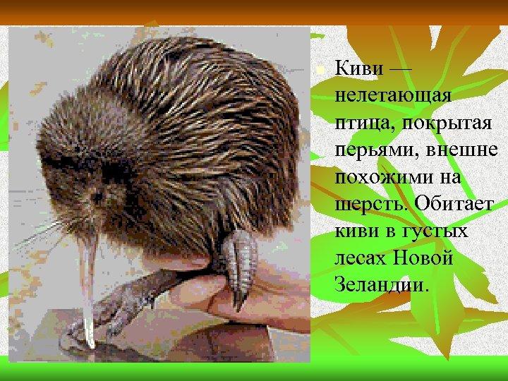n Киви — нелетающая птица, покрытая перьями, внешне похожими на шерсть. Обитает киви в