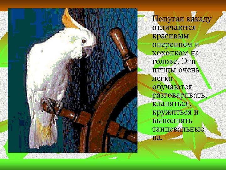 n Попугаи какаду отличаются красивым оперением и хохолком на голове. Эти птицы очень легко