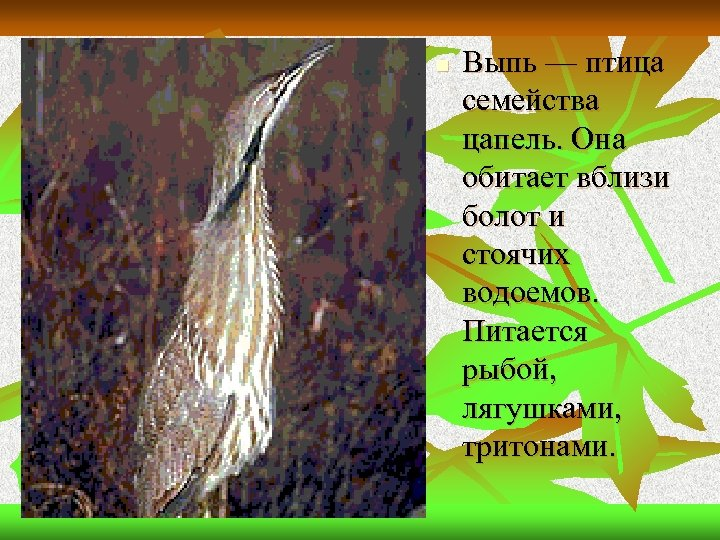 n Выпь — птица семейства цапель. Она обитает вблизи болот и стоячих водоемов. Питается