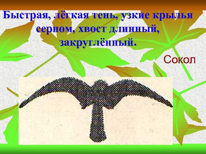 Быстрая, лёгкая тень, узкие крылья серпом, хвост длинный, закруглённый. Сокол